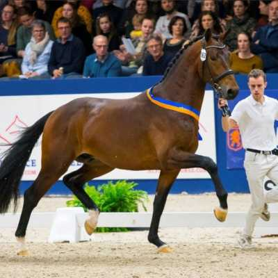EDS foal has become a favourite at the KWPN and Danish Stallion Show